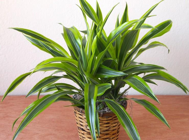Драцена душистаят - неприхотливые домашние растения