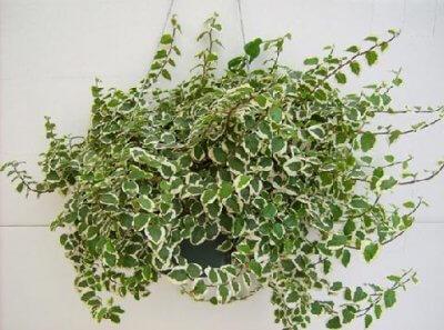Фикус Карликовый - неприхотливые домашние растения