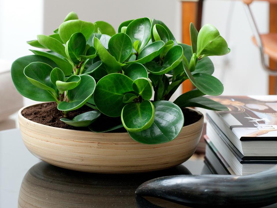 Пеперомия - неприхотливые домашние растения