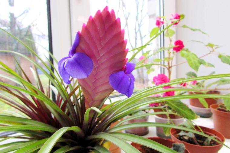 Тилландсия - неприхотливые домашние растения